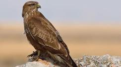 Dünyanın En Hızlı Kuşu Şahine Kamera Yerleştirilirse Ne Olur?