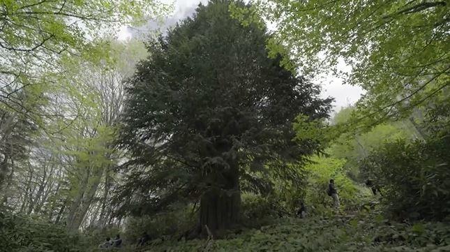 Zonguldak'ta bulunan dünyanın en yaşlı porsuk ağacı